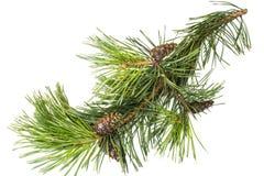 Rama del pino con los conos Foto de archivo libre de regalías