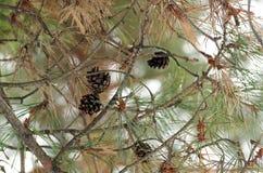 Rama del pino con los conos Fotografía de archivo libre de regalías