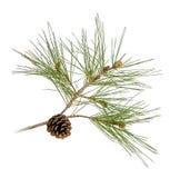 Rama del pino con los conos Fotos de archivo libres de regalías