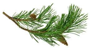 Rama del pino con los conos, aislados sin una sombra Primer Chr imagen de archivo libre de regalías