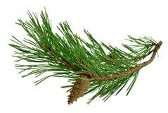 Rama del pino con los conos, aislados sin una sombra Primer Chr imágenes de archivo libres de regalías