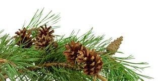 Rama del pino con los conos, aislados sin una sombra Primer Chr imagen de archivo