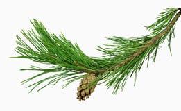 Rama del pino con los conos, aislados sin una sombra Primer Chr fotografía de archivo libre de regalías
