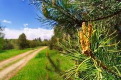 Rama del pino con los conos en un fondo de un camino arenoso Fotografía de archivo libre de regalías