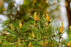 Rama del pino con los conos jovenes foto de archivo