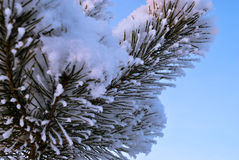 Rama del pino cubierta en nieve Fotos de archivo libres de regalías