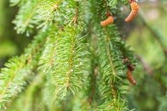 Rama del pino en árbol de pino Árbol de pino en naturaleza salvaje del bosque del pino greenery Parque Foto al aire libre fotografía de archivo