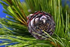 Rama del pino en un árbol conífero del primer de la rama Foto de archivo libre de regalías