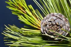 Rama del pino en un árbol conífero del primer de la rama Fotos de archivo libres de regalías