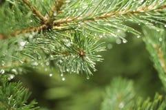 Rama del pino en un día lluvioso Imagen de archivo