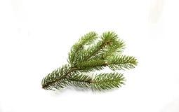 Rama del pino en un fondo blanco Fotografía de archivo