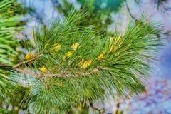 Rama del pino siberiano en ella con las hojas amarillas caidas del abedul en otoño Imagen de archivo