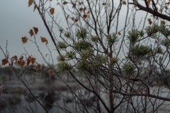 Rama del pino y agujas y hojas del abedul cubiertas Fotografía de archivo