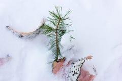 Rama del pino y corteza de abedul en la nieve blanca Fotografía de archivo libre de regalías