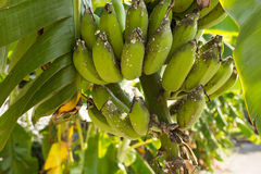 Rama del plátano dañada por el aphis Fotografía de archivo