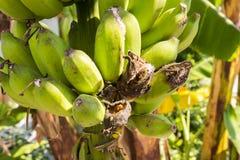 Rama del plátano dañada por el piojo de planta Foto de archivo libre de regalías