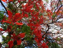 Rama del poinciana real en el cielo azul en d3ia Imagen de archivo libre de regalías