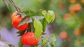 Rama del primer con los mandarines en hojas verdes del árbol almacen de video
