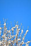 Rama del primer de la floración en primavera Imágenes de archivo libres de regalías
