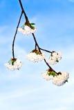Rama del primer de la floración en primavera Fotografía de archivo libre de regalías