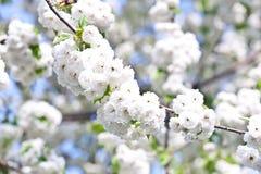 Rama del primer de la floración en primavera Foto de archivo