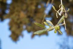 Rama del primer del olivo hermoso que muestra las frutas y las hojas con el bokeh verde del árbol y el fondo del cielo azul el dí Imagenes de archivo