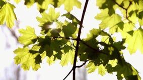 Rama del primer verde fresco del follaje del arce almacen de metraje de vídeo