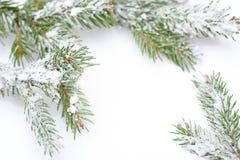 Rama del árbol de navidad en nieve, en el fondo blanco Fotos de archivo libres de regalías