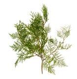 Rama del árbol del thuja Imagen de archivo libre de regalías