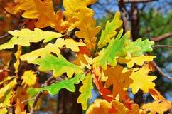 Rama del roble con las hojas de otoño amarillas Foto de archivo