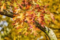 Rama del roble con las hojas verdes y rojas fotos de archivo libres de regalías