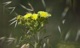 Rama del Senecio en la plena floración imagenes de archivo