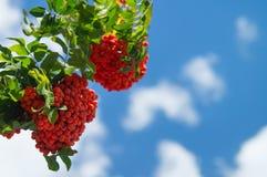 Rama del serbal con un manojo de bayas maduras rojas contra un cielo azul con las nubes raras Fotos de archivo libres de regalías