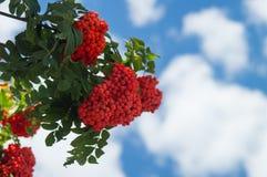 Rama del serbal con un manojo de bayas maduras rojas contra un cielo azul con las nubes raras Fotos de archivo
