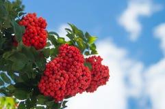 Rama del serbal con un manojo de bayas maduras rojas contra un cielo azul con las nubes raras Imagen de archivo