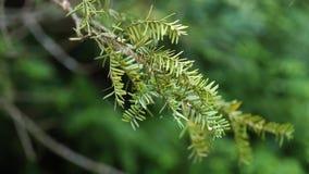 Rama del tejo japonés del árbol conífero en el viento ligero de la primavera, 4K almacen de metraje de vídeo