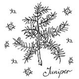 Rama del vector del enebro con las bayas Ejemplo herbario dibujado mano en estilo del bosquejo Fotografía de archivo libre de regalías