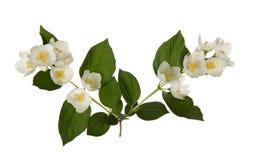 Rama delicada del jazmín floreciente de la primavera, aislada en blanco fotos de archivo libres de regalías