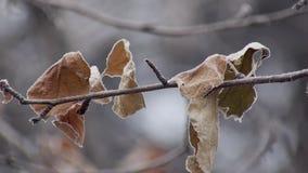 Rama desnuda de las hojas secadas y congeladas del árbol en día de invierno frío, tiro estático metrajes