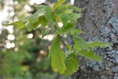 Rama en el jardín, Finlandia del roble imagenes de archivo