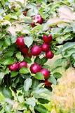 Rama espartano del manzano con la manzana después de la lluvia Imagen de archivo libre de regalías