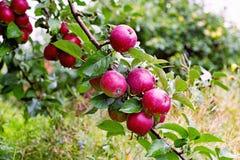 Rama espartano del manzano con la manzana después de la lluvia Foto de archivo