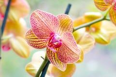 Rama exótica tropical hermosa con rosa y flores amarillas de la orquídea del Phalaenopsis de la polilla en primavera imagenes de archivo