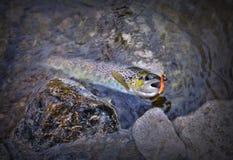 Rama för brun forell flod royaltyfria foton