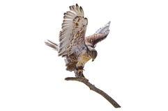 Rama ferruginosa de los regalis de Hawk Buteo aislada Foto de archivo