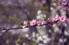 Rama fina con las flores rosadas Imagen de archivo