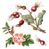 Rama, flor y fruta de escaramujos Imagenes de archivo