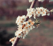 Rama floreciente Fotografía de archivo libre de regalías