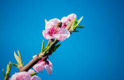 Rama floreciente Imagen de archivo libre de regalías