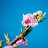 Rama floreciente Fotos de archivo